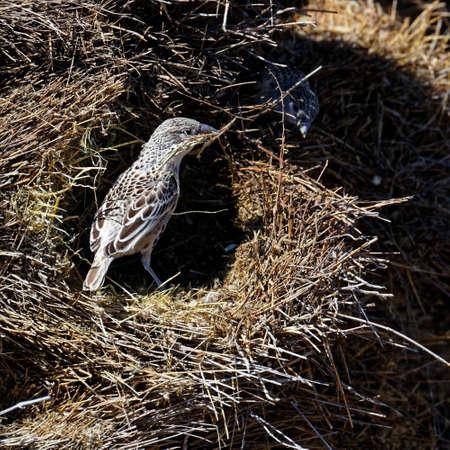 Pájaro tejedor sociable construyendo un nido, el Parque Nacional de Etosha, Namibia