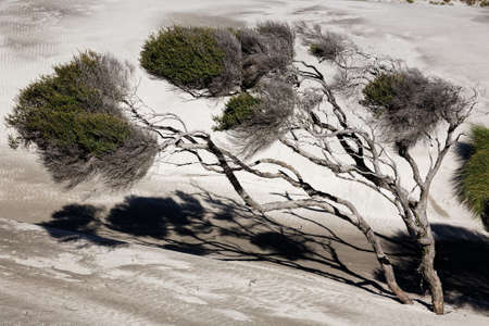 Manuka trees bent by the wind on New Zealand's west coast