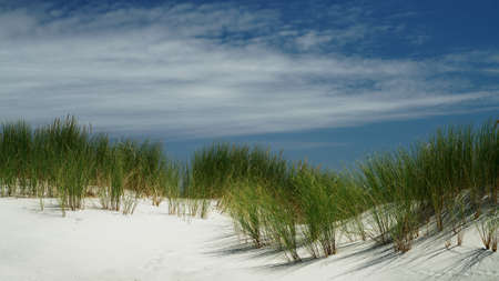 Beach grass on sand dune with a blue sky backdrop, on Farewell Spit, New Zealand's west coast. 免版税图像