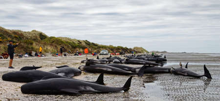 Dead pilot whales beached on Farewell Spit at the northern tip of New Zealands South Island.