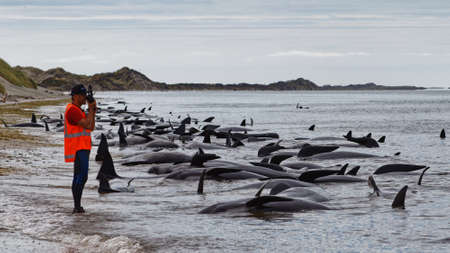 Dead pilot whales beached at Farewell Spit at the northern tip of New Zealand's South Island.