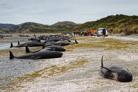 Stranded dead pilot whales beached on Farewell Spit at the northern tip of New Zealand's South Island.
