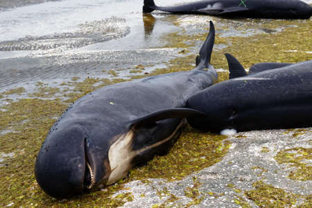 Stranded and dead pilot whales beached on Farewell Spit at the northern tip of New Zealand's South Island.