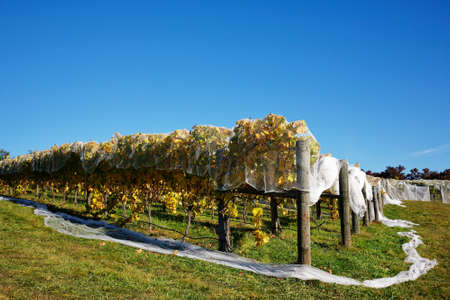 White bird proof netting covering rows of grapevines on a hillside to protect grape production in New Zealand. Archivio Fotografico