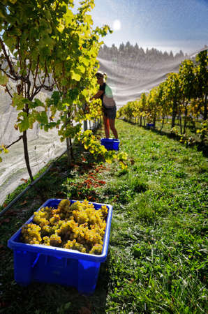Vineyard worker grape picking with a bin of picked grapes in the foreground, Marlborough, New Zealand Stock Photo