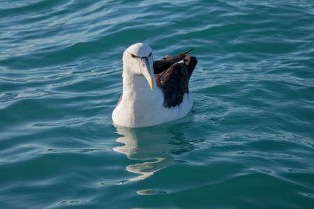 Buller's Albatross, paddling on the ocean, Kaikoura coast, New Zealand.