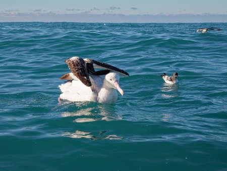 Southern royal albatross, paddling on the ocean, Kaikoura, New Zealand.