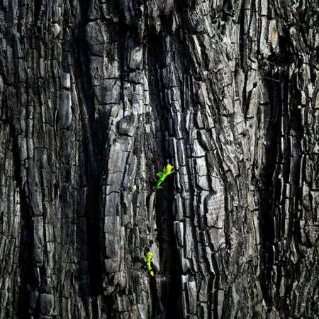 Green shoots after a forest fire in the Tasman region. A pine tree shows the will to survive. New Zealand.