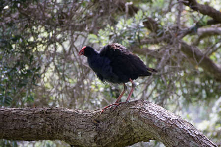 Fluffed up large adult Pukeko up a tree. New Zealand. Imagens
