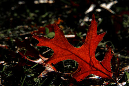 Beautiful backlit fallen leaf glowing red in the evening sun. New Zealand.