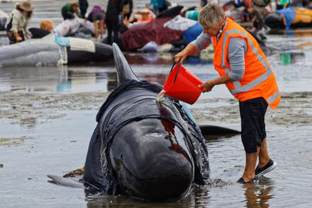 Farewell Spit, Tasman/New Zealand - February 10, 2017: Project Jonah volunteer caring for a stranded pilot whale on Farewell Spit, New Zealand.