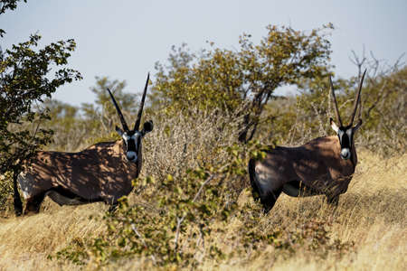 Two oryx or a pair of oryxes facing the camera straight on, in Etosha National Park, Namibia, Africa