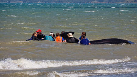 Farewell Spit, Tasman/New Zealand - January 19, 2014: Golden Bay local families and tourists volunteer to help a stranded pilot whale back to sea, Farewell Spit, New Zealand.