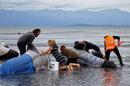 Farewell Spit, Tasman/New Zealand - February 10, 2017: Golden Bay local families, tourists and Project Jonah volunteers help stranded pilot whales to keep from overheating, Farewell Spit, New Zealand. Редакционное