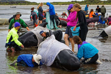 Farewell Spit, Tasman/New Zealand - February 10, 2017: Golden Bay local families and tourists volunteer to help stranded pilot whales stay cool, Farewell Spit, New Zealand.