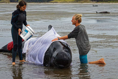 Farewell Spit, Tasman/New Zealand - February 10, 2017: Golden Bay tourists volunteer to help a stranded pilot whale stay cool, Farewell Spit, New Zealand. Редакционное