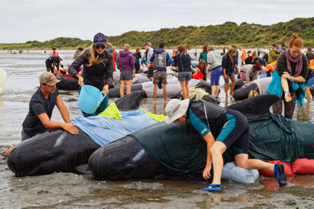 Farewell Spit, Tasman/New Zealand - February 10, 2017: Golden Bay local families and tourists volunteer to help stranded pilot whales to stay cool, Farewell Spit, New Zealand.