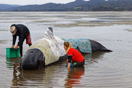 Farewell Spit, TasmanNew Zealand - February 10, 2017: Golden Bay tourists volunteer to help a stranded pilot whale stay cool, Farewell Spit, New Zealand.