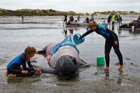 Farewell Spit, Tasman/New Zealand - February 10, 2017: Golden Bay local families volunteer to help a stranded pilot whale keep from overheating, Farewell Spit, New Zealand.