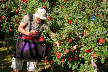 Motueka, TasmanNew Zealand - March 10, 2017: Man in sun hat picking apples on an orchard in Motueka, New Zealand.