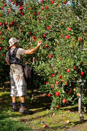 MOTUEKA, TASMANNEW ZEALAND – MARCH 10, 2017: [Seasonal worker, a young man picking apples on an orchard].
