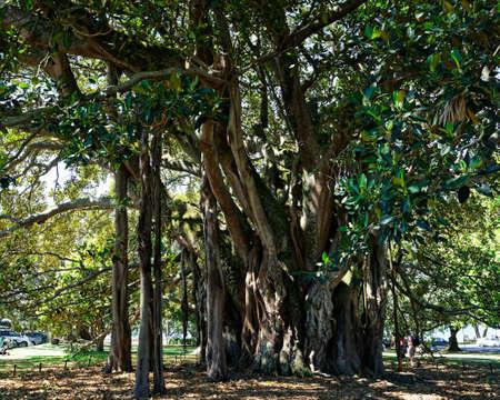 A Banyan tree called Albert in Devonport, New Zealand. Imagens