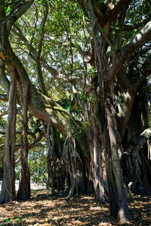 Albert the Banyan tree in Devonport, New Zealand.