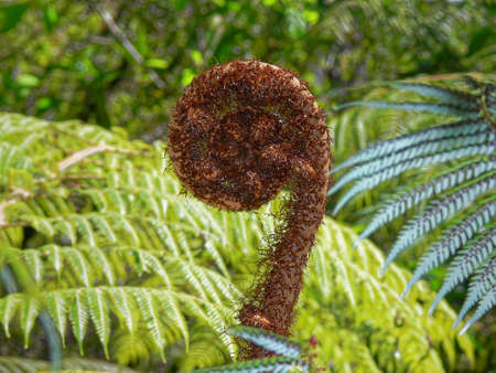 A new fern frond called a koru just starting to unfurl into a new leaf, New Zealand.
