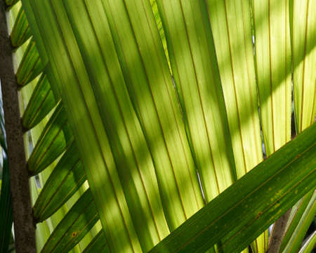 Backlit palm leaves over lapping and making a natural background, New Zealand.