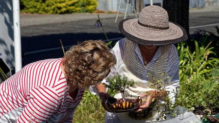 Motueka, Tasman/New Zealand - February 17, 2013: A woman inspecting a bonzai tree for sale.