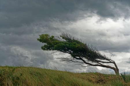 Albero piegato ma non rotto dal vento, Pohara, Golden Bay, regione della Tasmania, Nuova Zelanda.