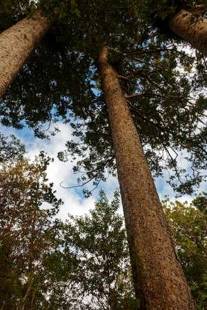 Waiau Kauri tree grove kauri, coniferous trees of Araucariaceae in the genus Agathis, Coromandel Peninsula, New Zealand's North Island. 版權商用圖片