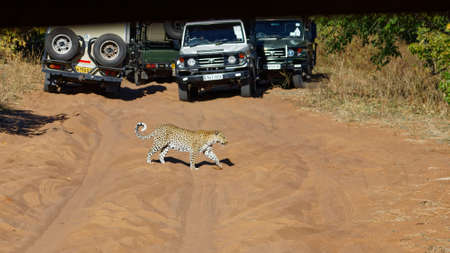 Chobe National Park, Botswana/Africa – June 1, 2017: [Tourist safari drivers jostle for position so their guests can see a leopard crossing the track, Chobe National Park, Botswana, Africa.]
