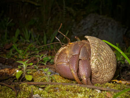 Uga or coconut crab too big for their shell side on, on the south pacific tropical island of Niue.