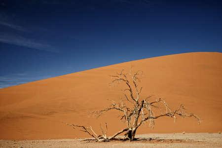 Dead camelthorn tree against an orange sand dune in Namib-Naukluft Park in Namibia, Africa. Reklamní fotografie