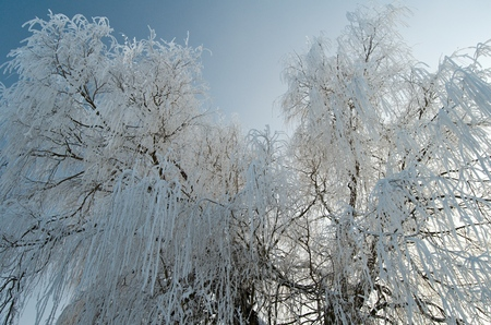 Willow tree in Winter frost