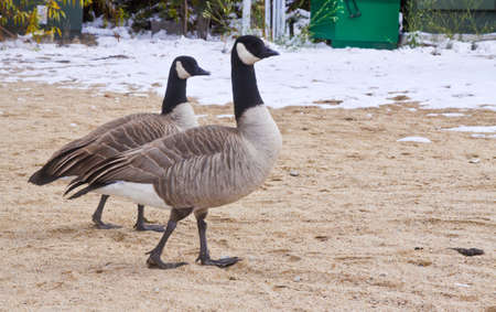 winter ducks photo