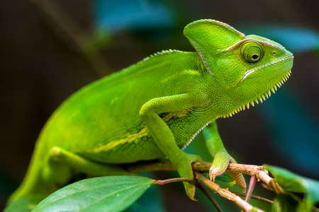 Camaleón verde en un árbol