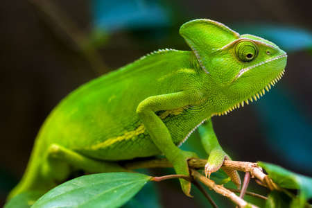 Green chameleon on a tree  Stock Photo