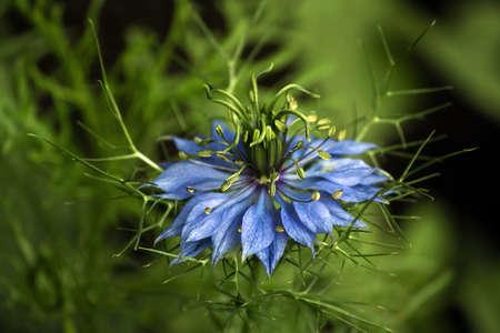 안개 속에서 파란 사랑의 근접 촬영 Nigella damascena flower