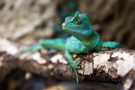 lagarto: Vista de primer plano de un verde basilisco Plumed Basiliscus plumifrons