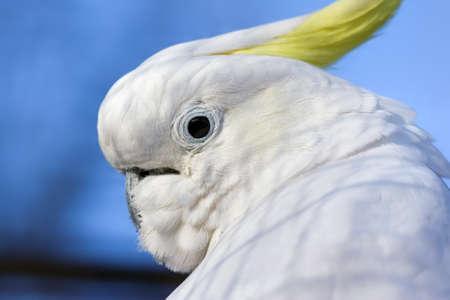 sulphur: Closeup portrait of a Lesser Sulphur-crested Cockatoo  Cacatua sulphurea  against background of the blue sky  Stock Photo