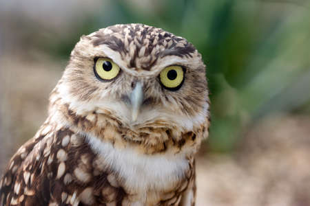 burrowing: Closeup portrait of a funny Burrowing Owl  Speotyto cunicularia  looking directly into the camera