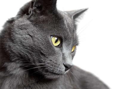 회색 쇼트 헤어 고양이의 확대 초상화 흰색 배경에 고립 스톡 콘텐츠