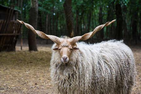 Hungarian Racka sheep