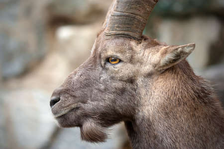 The Alpine ibex  Capra ibex , also known as the Steinbock, is a species of wild goat that lives in the mountains of the European Alps  photo