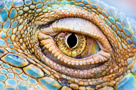 Close-up van het oog van een groene leguaan Iguana iguana