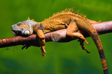 Close-up of a male Green Iguana Iguana iguana relaxing on a branch Green background