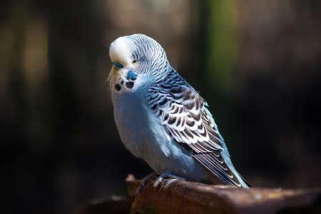 undulatus: Blue Budgerigar (Melopsittacus undulatus) sitting on a branch. Stock Photo