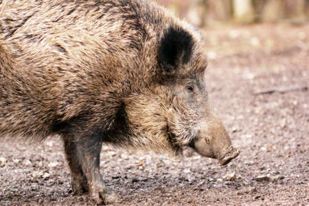 Close-up portrait of a Wild boar (Sus scrofa) eating in the wilderness. photo